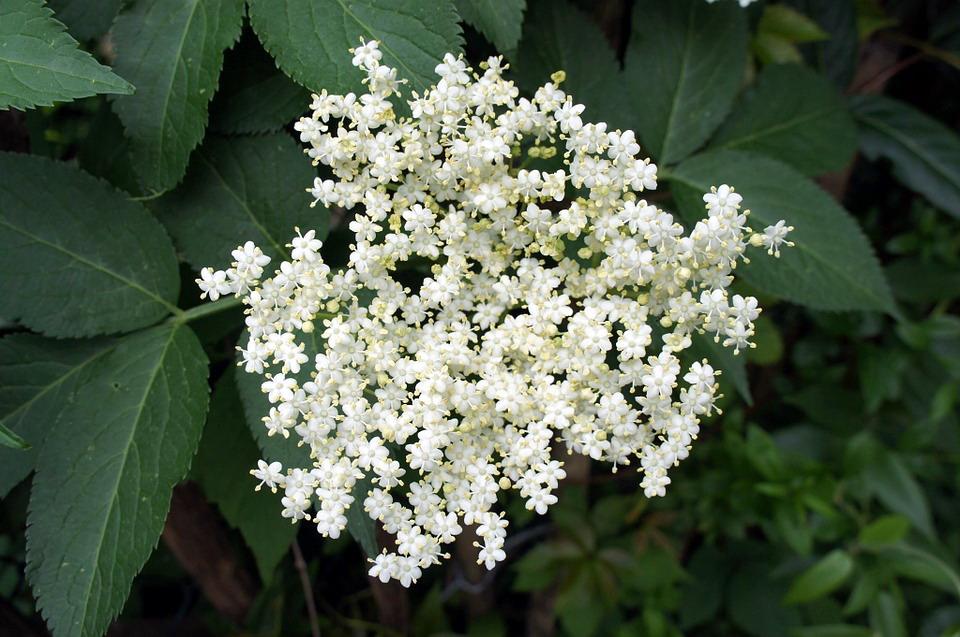 Nalewka z kwiatów bzu czarnego na liście produktów tradycyjnych z Pomorza. Jest nie tylko smaczna