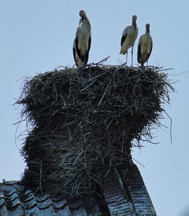 Bocianie gniazdo w Trutnowach