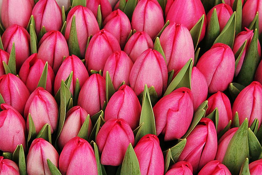 Kompozycje z milionów tulipanów. Kraina łagodności w Mokrym Dworze