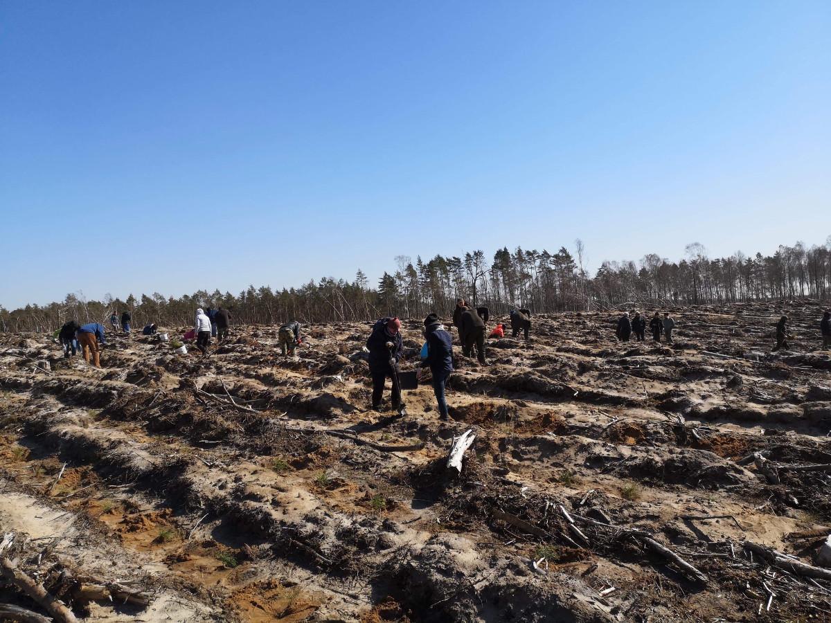 Nowe drzewa w Zaborskim Parku Krajobrazowym. Teren zniszczony przez nawałnicę obsadzono sosnami