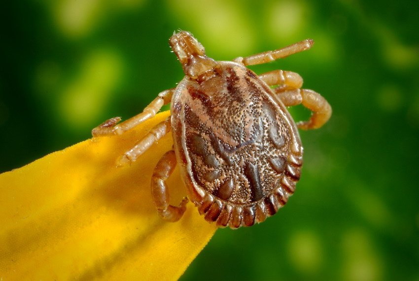Czy warto stosować preparaty odstraszające kleszcze i się szczepić? Niewidoczny gołym okiem intruz zaczyna atakować