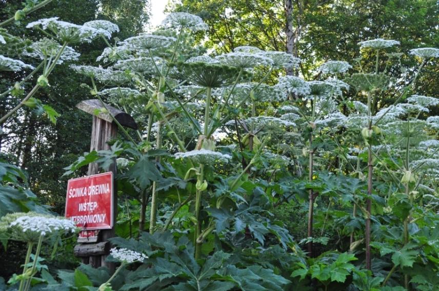 Na czym polega mazakowanie barszczu Sosnowskiego? Kobylnica znalazła sposób na tę niebezpieczną roślinę