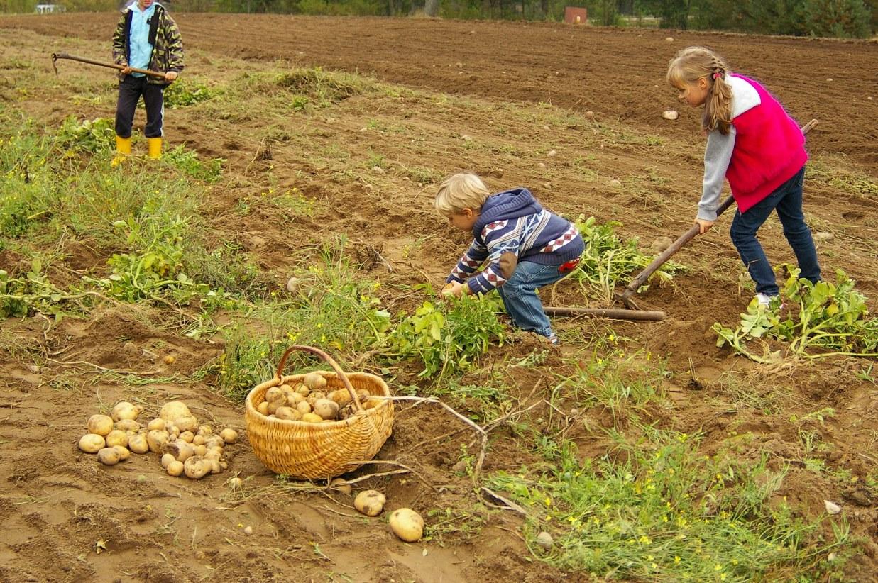 Zabawy przy ognisku i degustacja potraw z ziemniaka. Tradycyjne wykopki we Wdzydzach Kiszewskich