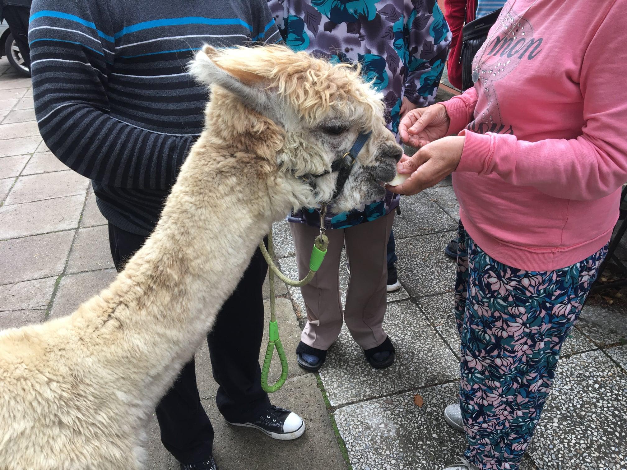 Nietypowa wizyta w placówce w Dzierżążnie. Pacjentów odwiedziły lama i alpaki